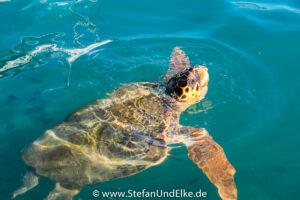 Unechte Karettschildkröte (Caretta Caretta), Kastellorizo, Griechenland